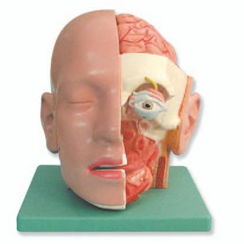 модел на човешка глава