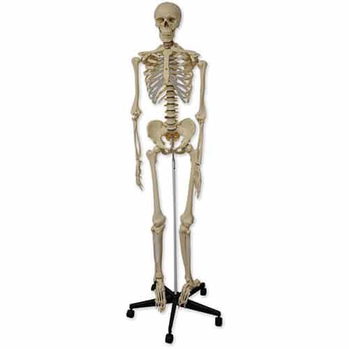 модел на скелет на човек