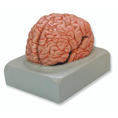 модел на мозък