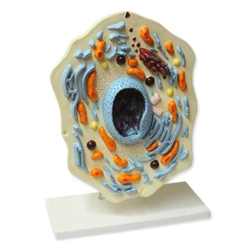 модел на животинска клетка