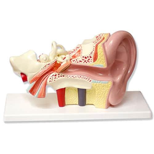 модел на ухо