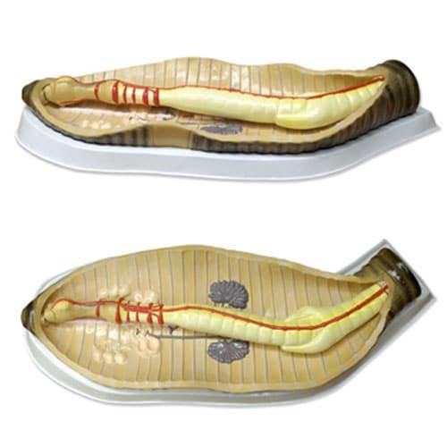 модел на дъждовен червей