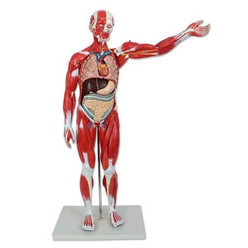 модел на вътрешни органи и мускулатура