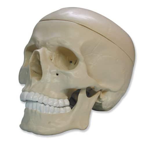 модел на череп
